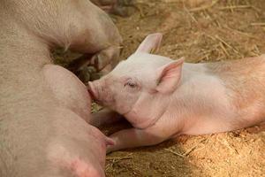 porcos jovens foto