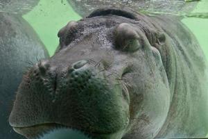 hipopótamo debaixo d'água foto