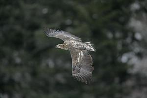 águia do mar de cauda branca, haliaeetus albicilla
