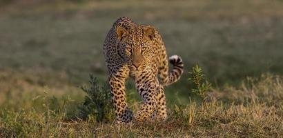 o leopardo de ouro foto