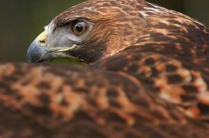 águia dourada (aquila chrysaetos) olho sobre asa