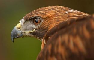 olho de águia dourada (aquila chrysaetos) com asa