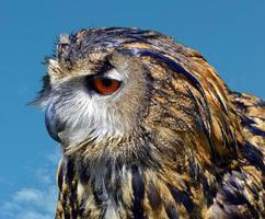 coruja de águia eurasian nome latino bubo bubo foto