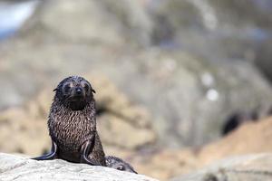 lobo-marinho da nova zelândia (arctocephalus forsteri) foto