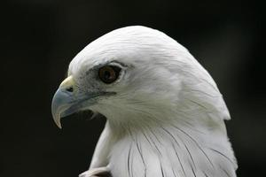 perfil de águia foto