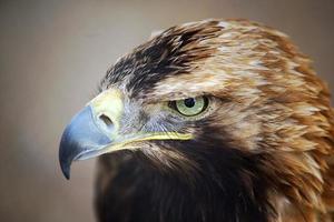 águia imperial oriental foto