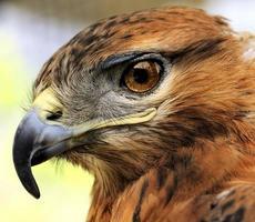 cabeça de jovem aguia