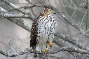 tanoeiro juvenil falcão foto