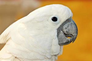 cacatua papagaio foto