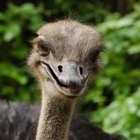 avestruz feliz foto