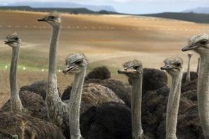avestruzes em uma fazenda de avestruzes foto