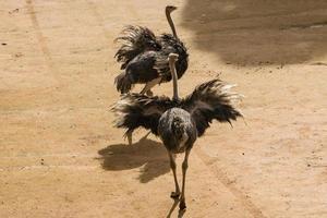 avestruzes de combate foto