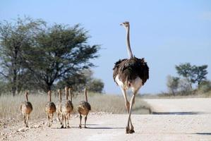 avestruz e filhotes foto