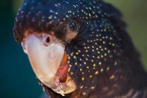 periquito papagaio foto