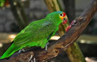 papagaio colorido foto