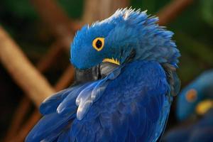 parot azul exótico foto