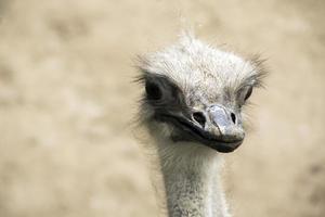 avestruz morto em foto