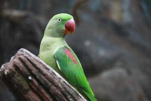 papagaio verde tem bico vermelho está de pé na madeira foto