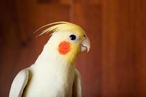periquito, papagaio cacatua, discussão, weero, nymphicus hollandicus foto