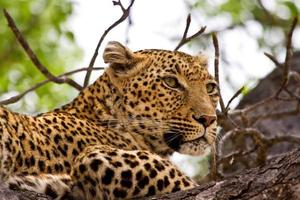leopardo deitado na árvore foto