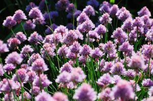 cebolas florescendo foto