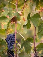 folhas e uvas vermelhas da Toscana foto