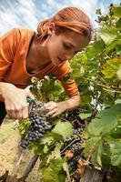 mulher jovem, colheita, uva