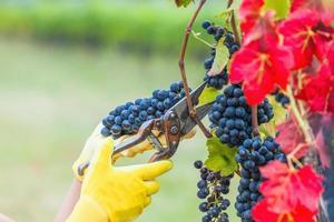a colheita da uva foto