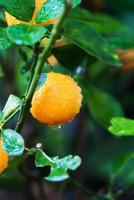 pequena laranjeira foto