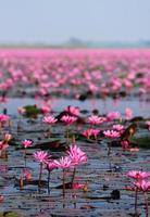 mar de lótus rosa, nong han, udon thani, tailândia foto