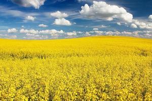 campo de colza com bela nuvem