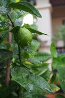 limão fresco depois da chuva