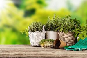 ervas frescas em vasos foto