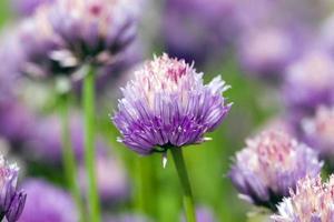 flor de alho foto