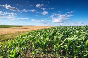 campo de milho