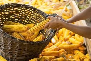 mãos humanas segurando o milho após a colheita foto
