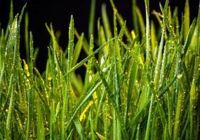 grama verde foto
