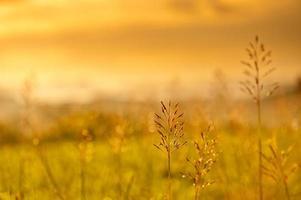 plumas de grama ao pôr do sol