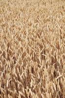 trigo de verão