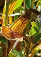 a espiga de milho madura no caule