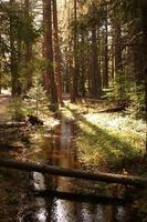 sunlt córrego que flui através de pinheiros foto