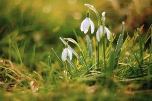 snowdrops primavera foto