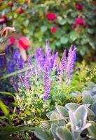 sálvia flores sobre fundo de roseira, ao ar livre foto