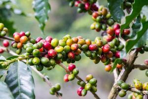 grãos de café crescendo no galho
