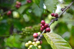 fechar grãos de café frescos foto