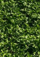 folhas de aipo foto