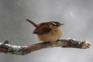 carriça de inverno foto
