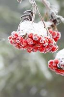 Rowan. inverno. neve. foto