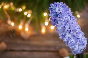 jacinto de inverno foto