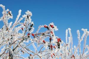 dogrose no inverno foto